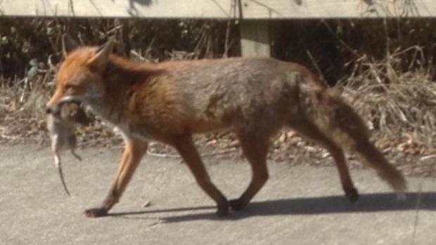 Eyes on nature: the rat-carrying fox that Philip Travers saw in Rochestown, Co Cork