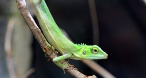 Green crested lizard, in Dublin Zoo at the official opening of Zoorassic WorldPhotograph: Dara Mac Dónaill