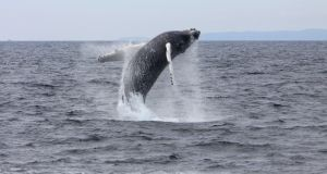 A humpback whale off Union Hall, Co Cork. Photograph: Padraig Whooley/Cork Whale Watch