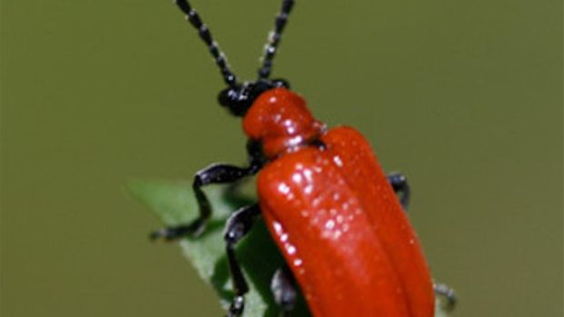 Eyes on nature: the red lily leaf beetle that John Derby found on a lily plant