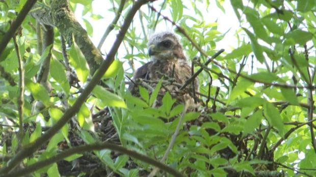 Eyes on nature: one of the buzzards that Clive Symons's neighbour photographed in an ash tree in Co Meath