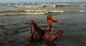 Pelican coated in heavy oil wallows in the surf in 2010 on East Grand Terre Island, Louisiana, after the Deepwater Horizon oil spill in the Gulf of Mexico. Photograph: Win McNamee/Getty Images