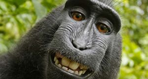Monkey business over money: British nature photographer David Slater has seen very little cash from the selfie that a macaque took using his camera. Photograph: AP