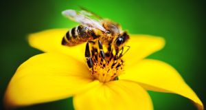 More than 20,000 bee species have evolved over time to depend on the the pollen and nectar resources of flowers