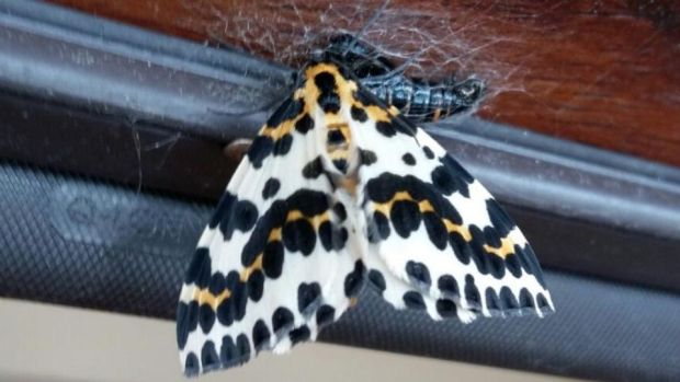 Eyes on nature: the magpie moth that Louise Stoodley saw emerge from its chrysalis