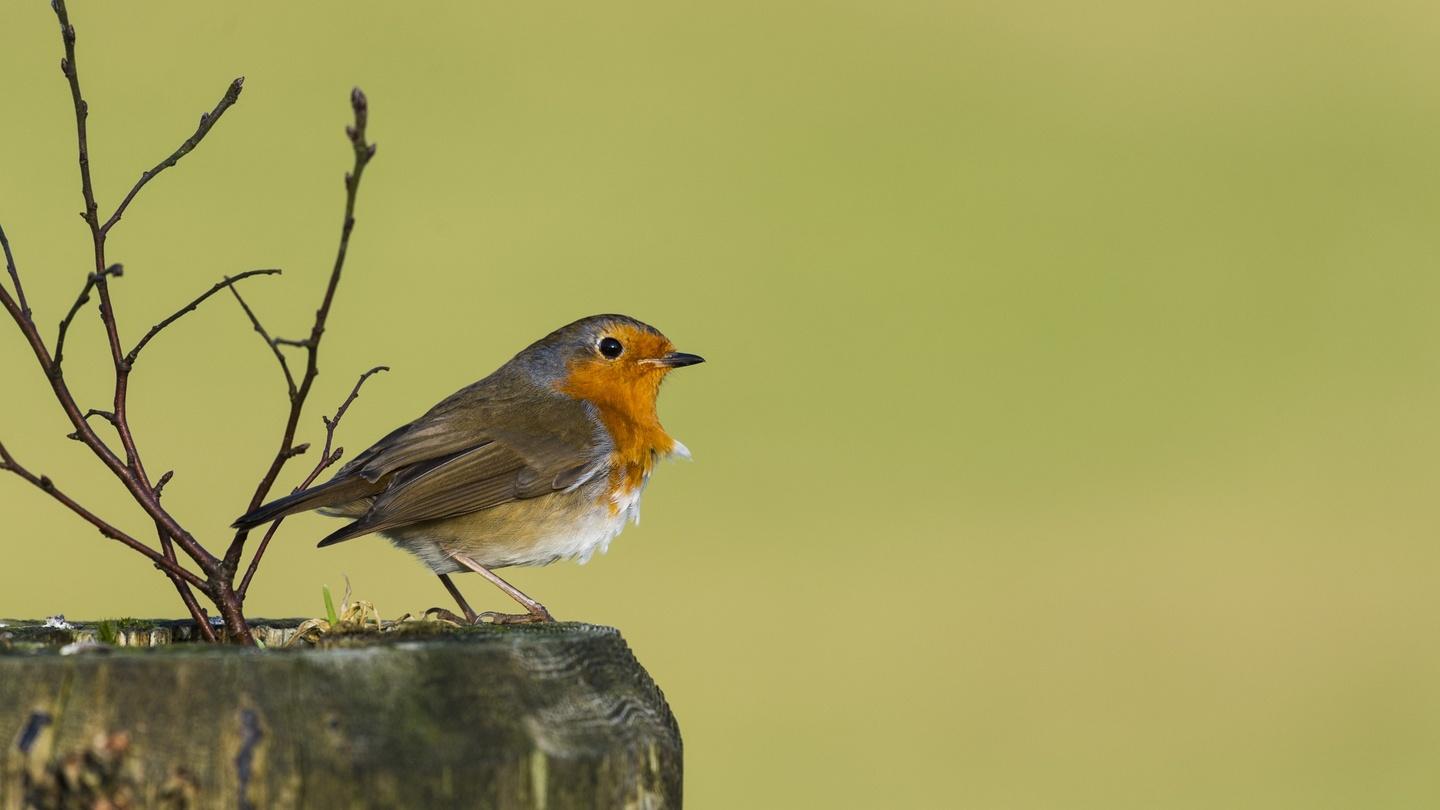 Winged Messenger Of Solace An Irishwomans Diary On The Robin