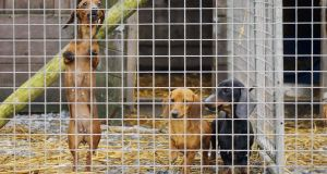Dachshund pups in small enclosures at an illegal puppy farm in the midlands. Many mistakenly believe the key issue with animal welfare is inadequate legislation. Photograph: Fergal Shanahan