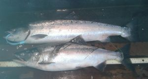 Atlantic salmon with blue-tag pinks