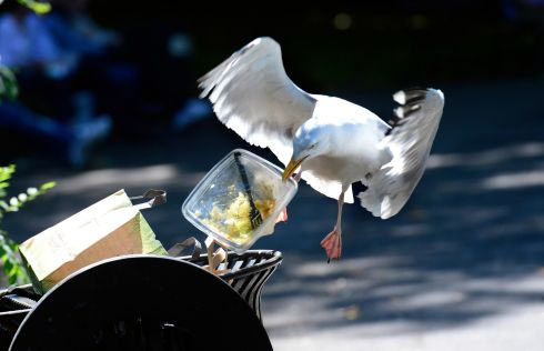 TAKE AWAY: A herring gull grabs a bit of lunch in St Stephen's Green in Dublin. Photograph: Cyril Byrne/The Irish Times