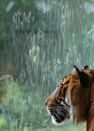 CAT'S EYES: A Sumatran tiger looks through the glass in its enclosure at the zoo in Frankfurt, Germany.  Photograph: Armando Babani/EPA