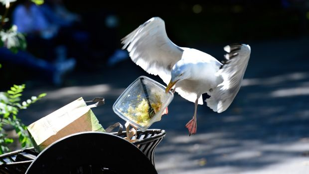 A herring gull grabs a bite in St Stephen's Green. Photograph: Cyril Byrne