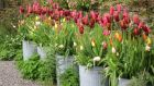 Portable garden options: tulips growing in galvanised steel dustbins.
