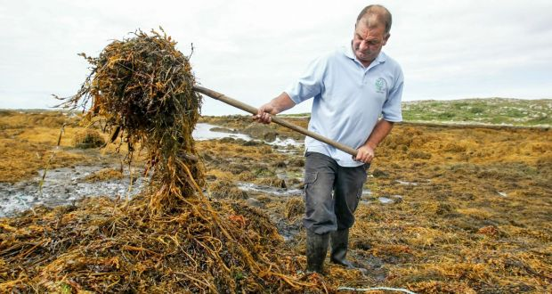 "Johnaí ""Dubh"" Clochartaigh harvesting seaweed near Carna, Co Galway. Photograph: Joe O'Shaughnessy"