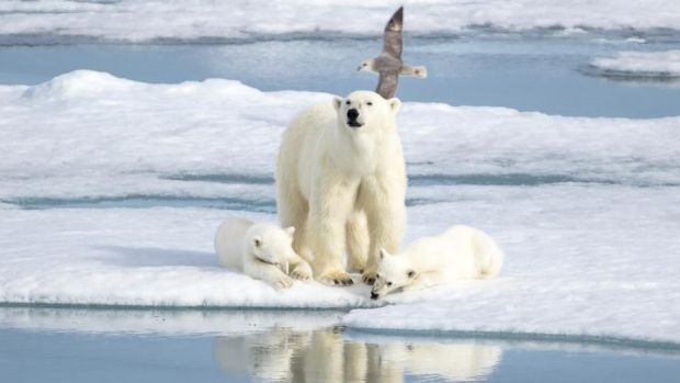 Explore's Realm of the Polar Bear trip lets guests search for the bears in their natural habitat