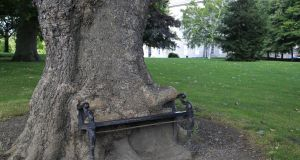The 'hungry tree' in the grounds of Kings Inns. The 80-year-old tree has been gradually enveloping an iron bench . Photograph: Nick Bradshaw/The Irish Times