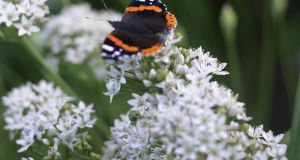 A Red Admiral butterfly basking on the flowers of garlic chives. Photograph: Richard Johnston
