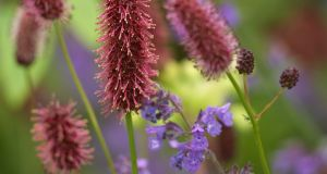 The bottlebrush flowers of Sanguisorba are a great addition to the late summer garden. Photograph:  Richard Johnston