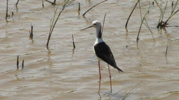 High-stepper: a black-winged stilt in the wetlands of the Llobregat delta. Photograph: Paddy Woodworth