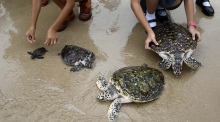 Thais wish their king a happy birthday by releasing sea turtles