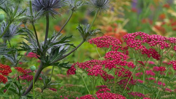 Silver-blue eryngiums contrasting with berry-coloured achillea in an Irish garden in late summer. Photograph: Richard Johnston