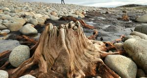 The stump of a 7,500-year-old tree, part of  a drowned forest  exposed by storms at Spiddal, Co Galway. Photograph: Joe O'Shaughnessy