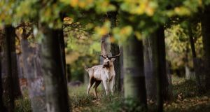 """The stag did not bolt but I felt sure he was aware of us."" Photograph: Maxpix/Julien Behal"