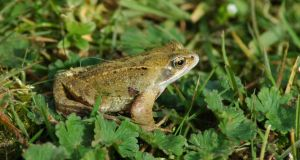 How to handle a frog: don't use soap beforehand. Just rinse your hands and leave them slightly moist. Photograph: iStock/Getty