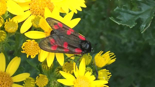 Eye on nature: one of the six-spot burnet moths that David Gray saw in Co Sligo