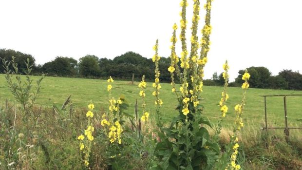 Eyes on nature: the great mullein that Des Griffin saw on the Waterford Greenway