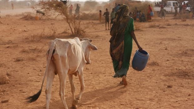 A woman leads her skinny cattle at an IDP settlement 60km south of the town of Gode, reachable only along a dirt track through the desiccated landscape. Photograph: James Jeffrey