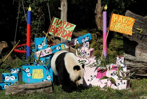 PARTY ANIMAL: Giant panda Yang Yang approaches parcels containing food on its twin cubs' first birthday, at the Schoenbrunn zoo, Vienna, Austria. Photograph: Heinz-Peter Bader/Reuters