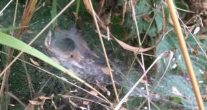 Eyes on nature: the web, probably of a labyrinth spider, that Katherine Barry Murphy saw on the banks of the Suir