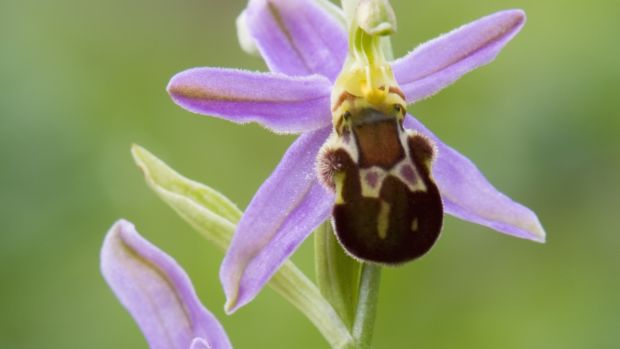 X is for X-rated sex lives of Bee orchid (Ophrys apifera) 'Friburgensis'. Photograph: Getty Images