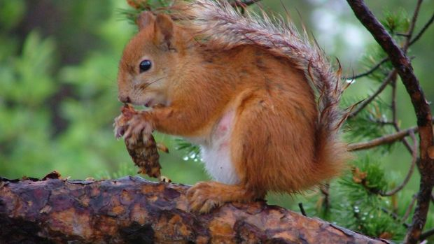 R is for Red squirrel.
