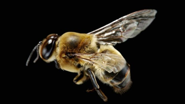 K is for King for a Day: male drone bee