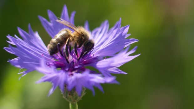 A bee feeding on the sky-blue flowers of annual cornflowers growing in Ashtown walled garden. Photograph: Richard Johnston