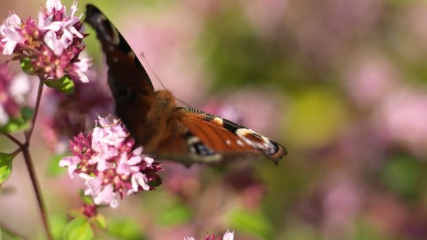 A peacock butterfly feeding on the nectar-rich flowers of oregano growing in Ashtown walled garden in the Phoenix Park. Photograph: Richard Johnston