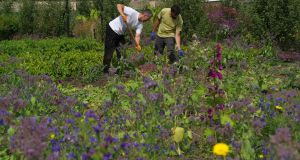 OPW gardener Brian Quinn and trainee gardener Daniel Sanchez harvesting potatoes in Ashtown walled garden, surrounded by self-seeded pollinator-friendly plants such as borage and viper's bugloss. Photograph: Richard Johnston