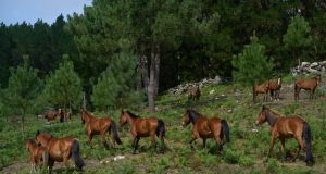 Short, sturdy Galician horses roam freely in woods near Oia, Spain. Photograph: Samuel Aranda/New York Times