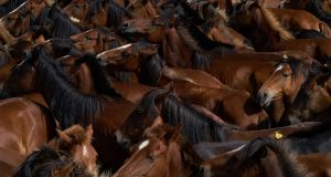 Horses rounded up to be disinfected and vaccinated, and  foals to be branded,  near Oia, in Spain. Photograph: Samuel Aranda/New York Times