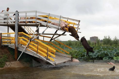 WHEN PIGS FLY: Pigs jump into a pond in Shenyang in China's northeastern Liaoning province. The Chinese pig farmer trains his pigs to dive from a 3m platform to get a higher quality of pork. Photograph: AFP/Getty Images