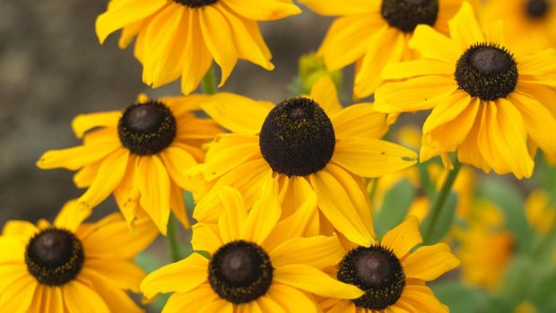 The late summer flowers of rudbeckia. Photograph: Richard Johnston