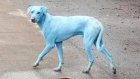 Contaminated water turning dogs blue in India