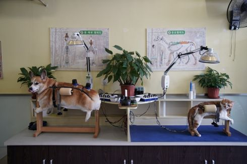 PET PROJECT: A dog and a cat receive treatment at a centre which specialises in acupuncture and moxibustion treatment for animals, in Shanghai, China. Photograph: Aly Song/Reuters