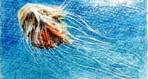 The lion's mane jellyfish. Illustration by Michael Viney