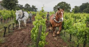 Château Le Puy: estate vineyards in Bordeaux, some of which are still ploughed by horse. Photograph: Rodolphe Escher/New York Times