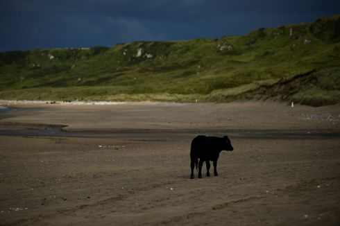 A cow stands on the beach in White Park Bay in Ballintoy, Northern Ireland, August 23, 2017.