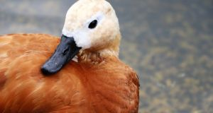 High flyer: the ruddy shelduck. Photograph: Getty