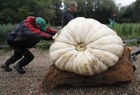 THE PUMPKIN KING: Men transport an Atlantic Giant Pumpkin, which was cultivated for about six months and weighs more than 430kg, before its presentation at Moscow State University's Botanic Garden in Russia. Photograph: Maxim Shemetov/Reuters