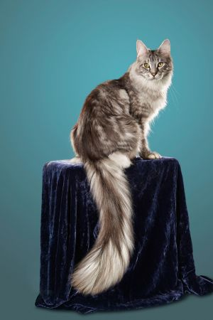 Cygnus, the cat with the longest tail. Photograph: Kevin Scott Ramos/GWR/PA Wire
